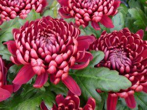 Französische Angebwohnheit: Keine Chrysanthemen und Rosen